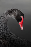 Black Swan. Closeup of a Black Swan with white space for text Stock Images