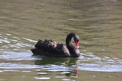 Black swan. Stock Photos