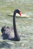 Black Swan. Lake Tarawera, New Zealand Stock Photos