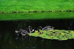 Black swan. Cigni neri in un laghetto Royalty Free Stock Image