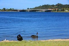 Black Swan royalty free stock photo