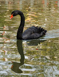 Black swan. A beautiful black swan is swimming in a lake Royalty Free Stock Photo