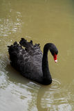 Black Swan. Swimming on dirty water Royalty Free Stock Photos