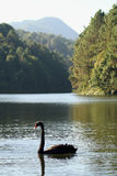 Black Swan. Animals autumn background beak beautiful beauty bird black Stock Photos