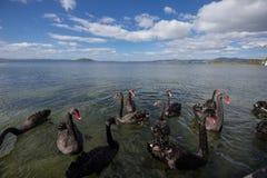 Black swan. Swimming on lake Stock Photos