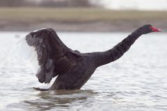 Black Swan 3. A picture of a black swan stretching its wings Royalty Free Stock Photo