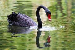 Black swan. Swimming in a pool Stock Image