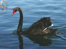 Black Swan. Swimming Stock Photos