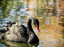 Black swan Royalty Free Stock Photos