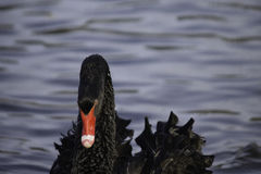 The Black Swan. Black Swan with head down in blurred water Stock Images