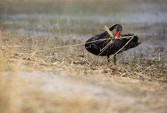 Black swan. A black swan working for new home beside the lake stock photos