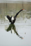 Black swan. A black swan in the lake stock images