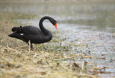 Black swan. A black swan beside the lake stock image