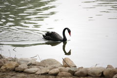 A black swan Royalty Free Stock Photos