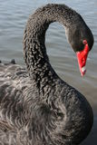 Black Swan Stock Image
