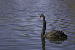 Black Swan. A Black Swan glides on a pond Royalty Free Stock Image