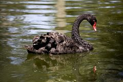 A Black Swan Stock Photos
