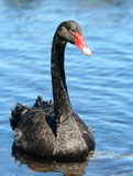 Black swan. New Zealand, 200711 Stock Image