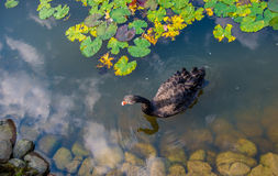 Free Black Swan Stock Photo - 77114840