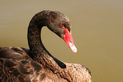 Black Swan. With red eye, closeup Stock Photo