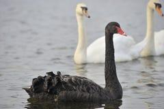 Free Black Swan Stock Image - 90578511