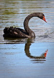 Black Swan. A black swan with a reflection swimming on a pond Stock Photography