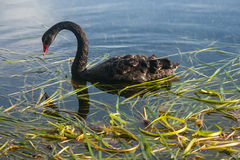 Black swan with aquatic plants Stock Images