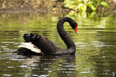 Black swan Stock Images