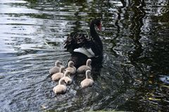 Black swan with babies stock photo