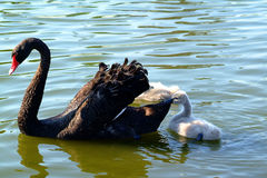Black swan and baby. Closeup of black swan and baby on lake Stock Photo