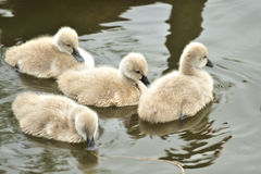 Black swan baby Royalty Free Stock Photo