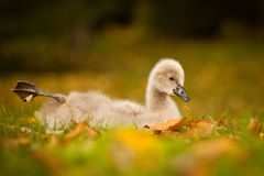 Black swan baby Stock Image