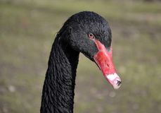 Black swan and background Stock Image