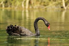 Black swan in the pond Royalty Free Stock Photography