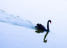 Black Swan. Beautiful Black Swans on the Lake against the reflection of the Royalty Free Stock Photo