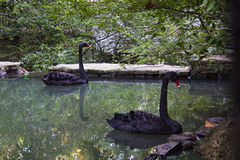 The Black Swan. This beautiful swans live at the Sochi's arboretum Stock Images