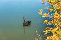 Black swan bird on a lake Stock Image