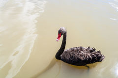Black Swan Bird Water. Color photo image looking down onto  a black swan bird swimming in the lakes brown water. Horizontal frame with the birds full black Stock Photography