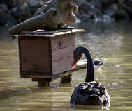 Black swan and birdhouse on the water Royalty Free Stock Photo