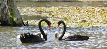 Black swans forming heart / pond idyll Royalty Free Stock Photos