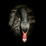 Black swan on black background. Square format Royalty Free Stock Photo