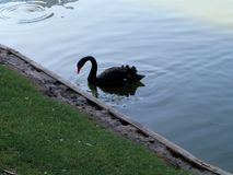 Black swan with a red beak near the shore. On the water with a beak lowered. Waiting for the fish stock photos