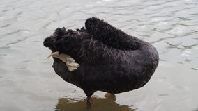 Black swan. A black swan in a pond and on ground stock video
