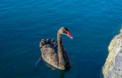Black swan. On a blue lake background Stock Images