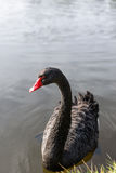Black swan on blue lake water in sunny day. Royalty Free Stock Image