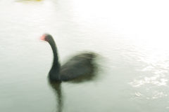 Black swan blurred by slow shutter speed. A slow shutter speed rendering of a black swan on water. The blurring of motion gives the photograph a painterly look Royalty Free Stock Photography