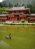 Black swan, byodo in temple royalty free stock image
