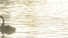 Black swan in a calm lake at sunset stock video footage
