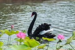 The black swan Royalty Free Stock Photos
