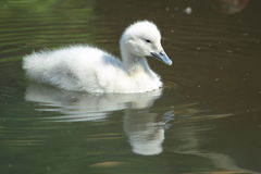 Black swan chick. The white chick of black swan Royalty Free Stock Photos